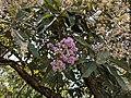 Venonia arbore 62.jpg