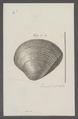 Venus spec. - - Print - Iconographia Zoologica - Special Collections University of Amsterdam - UBAINV0274 077 12 0054.tif