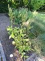 Veratrum album - Botanischer Garten, Frankfurt am Main - DSC02517.JPG