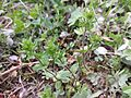 Veronica arvensis sl11.jpg