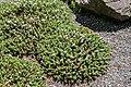 Veronica buchananii in Christchurch Botanic Gardens 02.jpg
