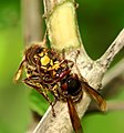 Vespa crabro fighting1.JPG