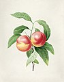 Vintage Flower illustration by Pierre-Joseph Redouté, digitally enhanced by rawpixel 50.jpg