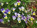 Viola arvensis subsp. megalantha 01.jpg