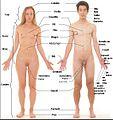 Vista anterior del cos humà femaní i masculí.jpg