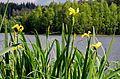 Vodní nádrž Tatrovice Iris pseudacorus (2).jpg