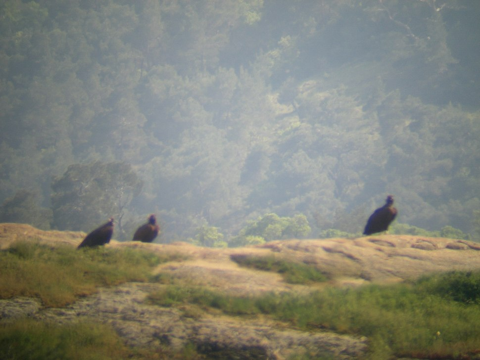 Vultures in Dadia Forest