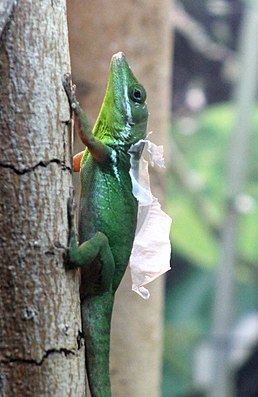 WHITE LIPPED ANOLE (7426492292)2.jpg