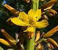 Wachendorfia thyrsiflora 5.jpg