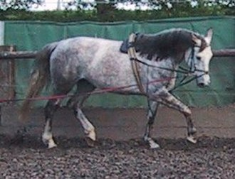 Horse training - A young horse in Europe being longed with a surcingle and side reins