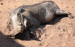 (Eigentliches) Warzenschwein (Phacochoerus africanus)