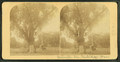 Washington elm, Cambridge, Mass, from Robert N. Dennis collection of stereoscopic views 4.png
