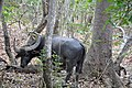 Water buffalo (Rinca) - Rinca island (17118669612).jpg