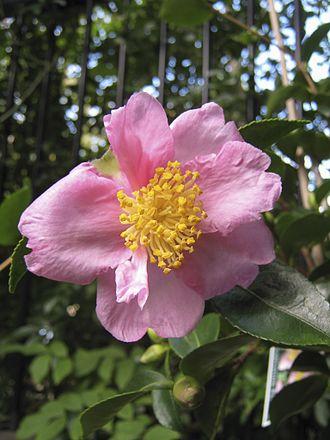 Eben Gowrie Waterhouse - Camellia sasanqua 'Plantation Pink', Waterhouse 1942