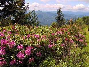 Catawba-Rododendron (Rhododendron catawbiense)på sit naturlige voksested i Appalacherne.