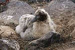 Waved Albatross (Phoebastria irrorata) -chick on nest.jpg