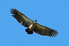 White-backed vulture (Gyps africanus) juvenile in flight.jpg