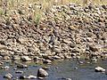 White-bellied Heron.jpg