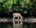 White-tailed Deer, Sebago Lake.jpg