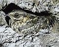 White-tailed Nightjar.jpg