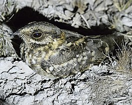White-tailed Nightjar.jpg