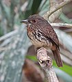 White-whiskered puffbird. (26805553968).jpg