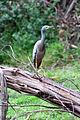 White Faced Heron (Egretta novaehollandiae), Lerderderg Gorge, Victoria Australia (4717027716).jpg