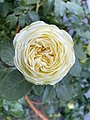 White Garden Rose by A - 2020-06-18.jpg