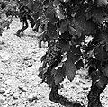 Wijnstokken van Châteauneuf-du-Pape, Bestanddeelnr 254-0257.jpg