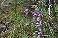 Wild Calypso Orchid.jpg