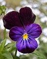 Wild Pansy (Viola tricolor) - Guelph, Ontario 2013-06-13.jpg