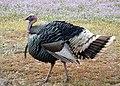 Wild Turkey (6384983627).jpg