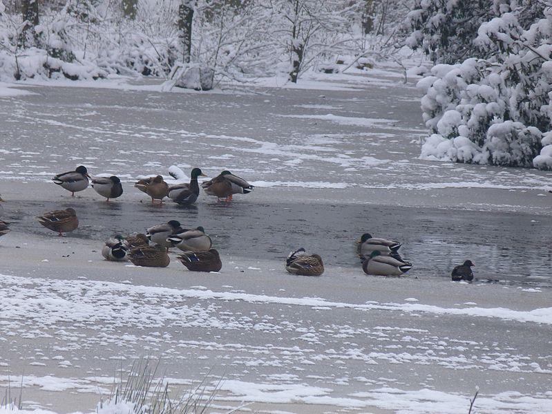 File:Wild ducks in Ryckevelde.jpg