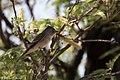 Willow Flycatcher San Pedro House Sierra Vista AZ 2017-05-18 06-56-25 (34722490176).jpg