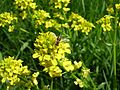 Winter Cress, Garden Yellowrocket, Yellow Rocket (Barbarea vulgaris) with insect - Flickr - Jay Sturner.jpg