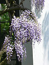 Wisteria floribunda5