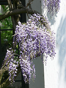 Wisteria is a pale purple color.