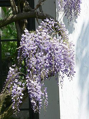 Wisteria floribunda - W. floribunda growing in Longwood Gardens