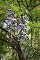 Wisteria frutescens flowers close.jpg