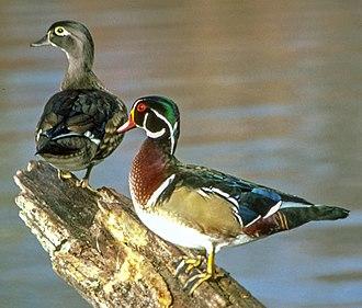 Aix (genus) - Pair of wood ducks (Aix sponsa)