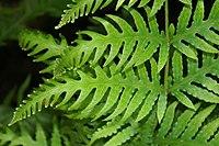 Woodwardia spinulosa 0zz.jpg