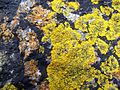 Xanthoria parietina & Caloplaca & Verrucaria.jpg