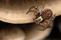Xysticus.erraticus.female.jpg