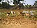 Yala deer.jpg