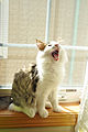 Yawning Norwegian Forest Cat.jpg