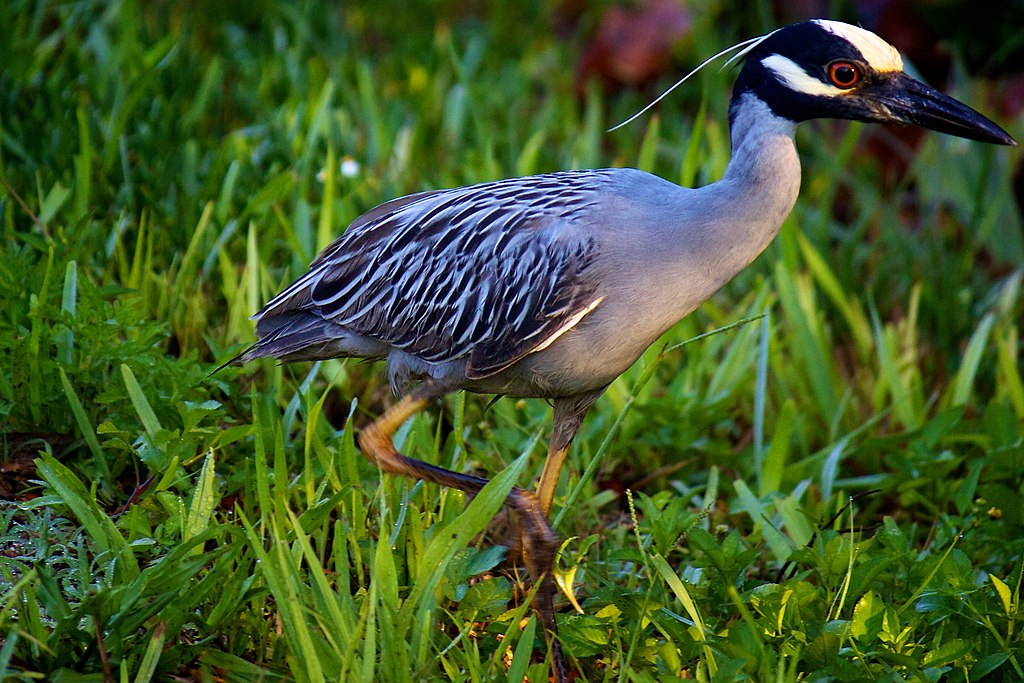 Yellow-crowned Night Heron (7159981925)