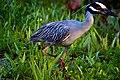 Yellow-crowned Night Heron (7159981925).jpg