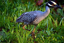 Yellow-crowned Night Heron (7159981925).jpg
