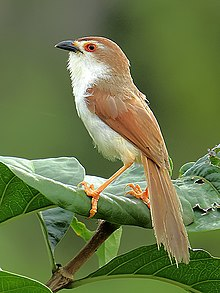Yellow-eyed babbler (Chrysomma sinense) Photograph by Shantanu Kuveskar.jpg