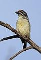 Yellow-fronted tinkerbird, Pogoniulus chrysoconus, at Walter Sisulu National Botanical Garden, South Africa (15386887353).jpg